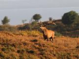 Red Deer Stag - Quantock Hills.png